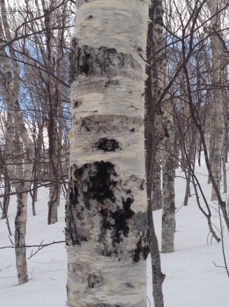 Silver birches lined the slopes.
